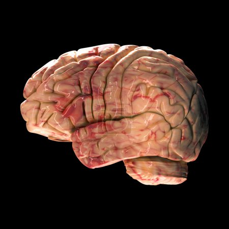 Photo for Anatomy Brain - Side View on Black Background - Royalty Free Image