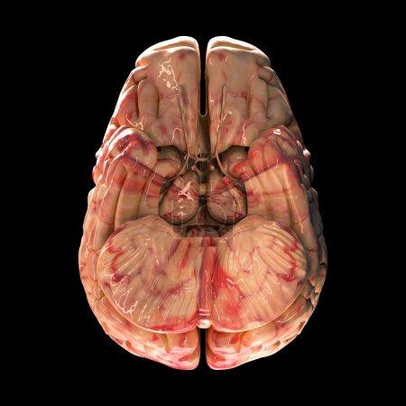 Anatomy Brain - Bottom View on Black Background