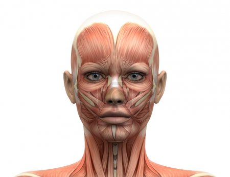Photo for Female Head Muscles Anatomy - Front view - Royalty Free Image
