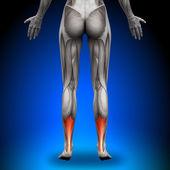 Achillovy šlachy - svaly ženské anatomie