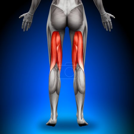 Photo for Hamstrings - Female Anatomy Muscles - Royalty Free Image
