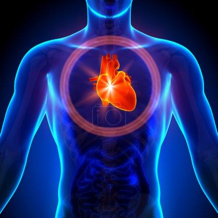 Photo pour Avis de coeur - anatomie masculine d'organes humains - rayons x - image libre de droit