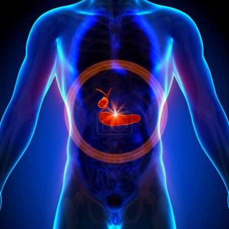 Photo pour Pancréas de la vésicule biliaire - Anatomie masculine des organes humains - Radiographie - image libre de droit