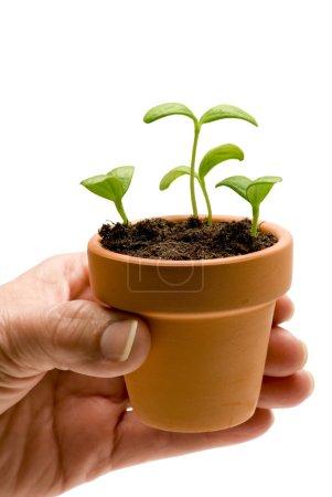 Foto de Un poco de naturaleza delicadamente colocado en una olla pequeña. planta de melón del bebé. aislado en blanco. estudio de tiro. - Imagen libre de derechos