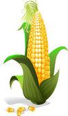 Ear of Corn as a vector illustration