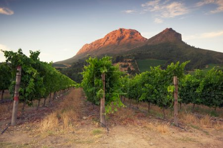 Vineyards around Stellenbosch, Western Cape, South Africa, Afric
