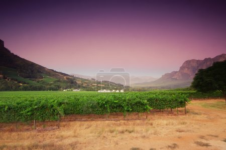 Landscape image of a vineyard, Stellenbosch, South Africa