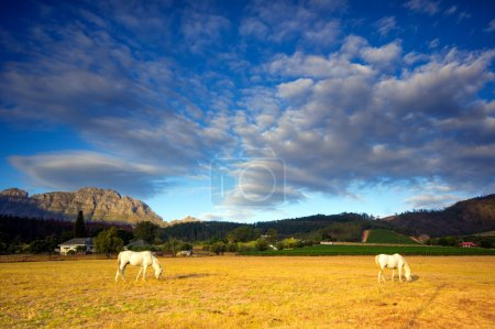 Horses, South Africa
