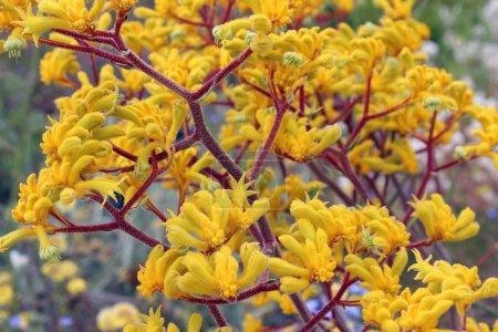 pattes de la touffe de jaune vif, floraison kangourou australien