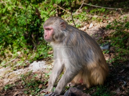 Photo for Monkey resting, India. - Royalty Free Image