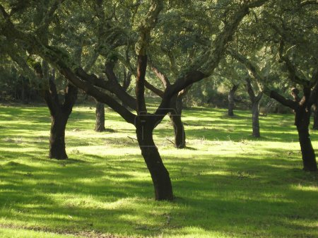Photo for Green grass field with cork oak trees and the sun - Royalty Free Image