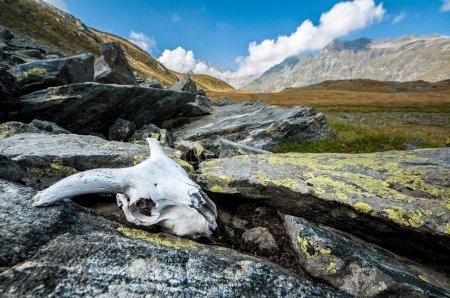 Photo pour Animal skull gauche entre les rochers dans les montagnes - image libre de droit