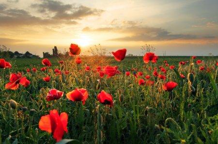 Poppies field flower on sunset