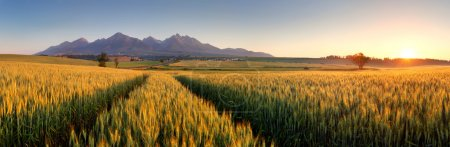 Sunset over wheat field with path in Slovakia Tatra mountain - p