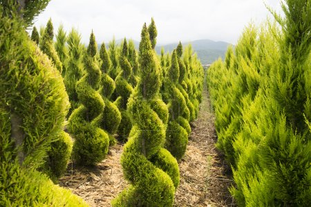 Boxwood shrubs in a nursery in mountains, Greece