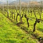 Vineyards in December in Haro (La Rioja), Spain...