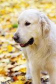 Arany labrador Vizsla őszén portréja