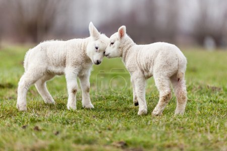 Photo for Baby sheep on farm - Royalty Free Image