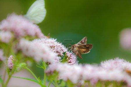 Photo pour Les papillons ont souvent des antennes ressemblant à des plumes ou une antenne sans club à l'extrémité. Lorsqu'elles sont perchées, leurs ailes sont plates. Les papillons ont tendance à avoir des corps poilus épais et des ailes plus couleur terre. Les papillons nocturnes sont généralement actifs la nuit et se reposent pendant la journée dans un - image libre de droit