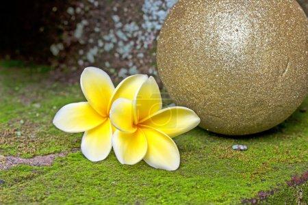 Photo pour Quelques fleurs jaunes frangipani - image libre de droit