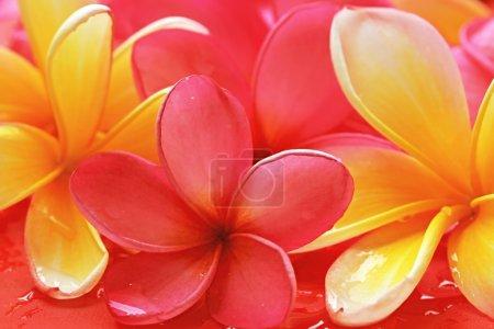 Photo pour Frangipani fleur - image libre de droit
