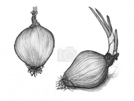 Photo pour Noir-blanc croquis d'une ampoule de l'échalote. illustration qualitative pour l'agriculture, service de traiteur, cuisine, gastronomie, horticulture, etc. - image libre de droit
