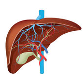 Liver Structure of the human liver Scientifically accurate