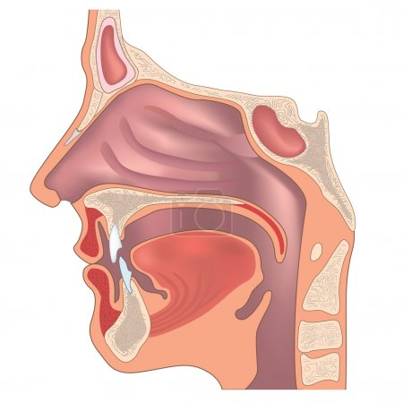 Anatomy of the nose and throat.