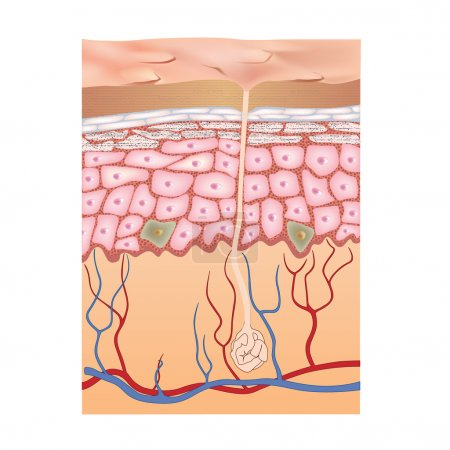Human skin structure. Vector illustration.