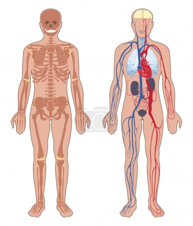 Human body structure: skeleton and circulatory vascular system