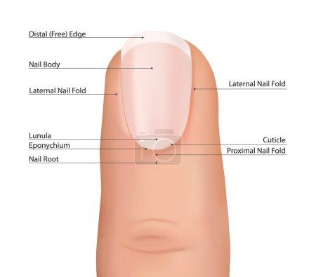 Nail finger anatomy.