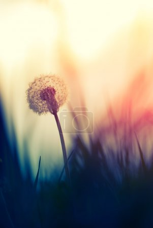 Photo for Tiny Spring dandelion bathing in the last rays of the setting sun - Royalty Free Image