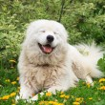 Постер, плакат: Patrol dog Portrait on the grass among dandelions in the garden