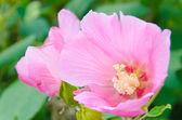 Květy růžové Konfederační růže