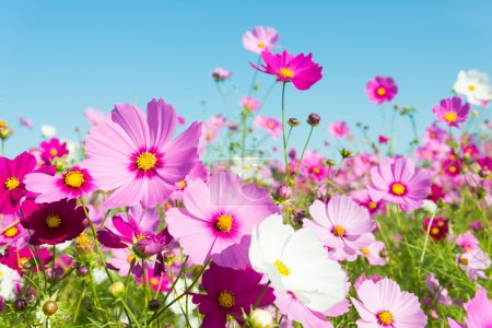 This is a photo of cosmos flowers....