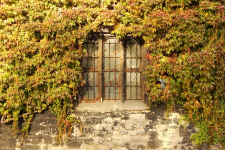 Old wall with ivy