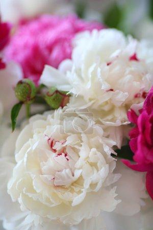 peony flowers closeup