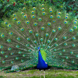 Beautiful indian peacock with fully fanned tail...