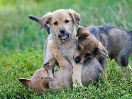 Puppies playing on the grass