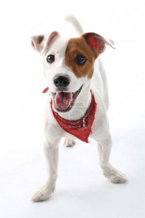 Photo pour Portrait d'un terrier heureux en col rouge sur fond blanc - image libre de droit