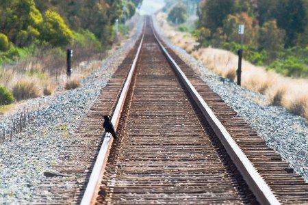 Crow on train tracks