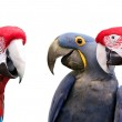 Three colorful parrots meeting together...