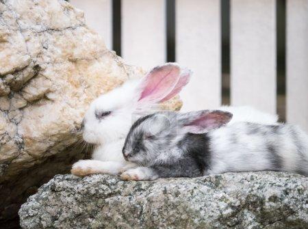 Pair of sleeping rabbits