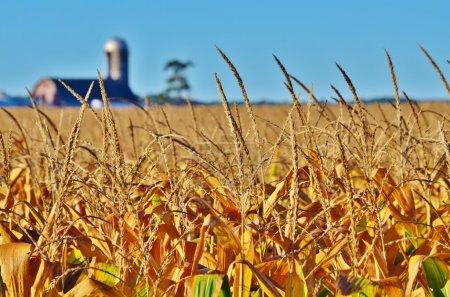 Primer plano de los granos de maíz en un campo .