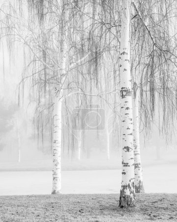Birch in Fog
