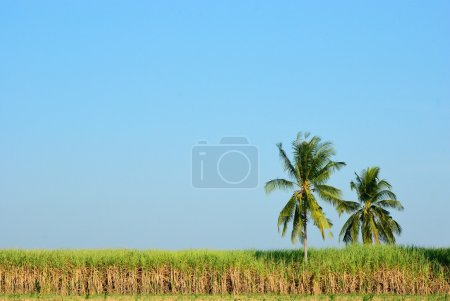 Sugar cane field & coconut