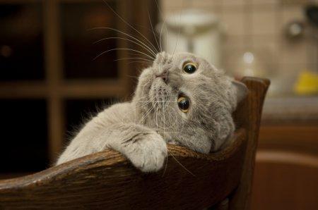 Photo pour Shorthair britannique de chat en pose drôle. - image libre de droit
