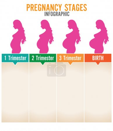 Pregnancy stages. Vector illustration.