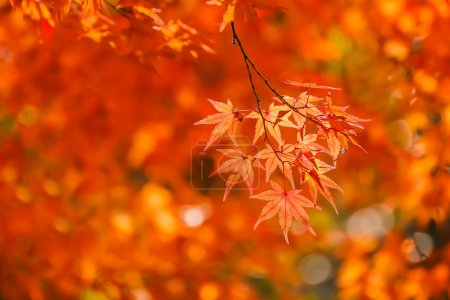Red maple leaves in autumn at Tenryu-ji Temple in Kyoto