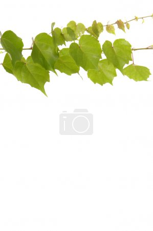 Photo for Branch of ivy with copy space - Royalty Free Image